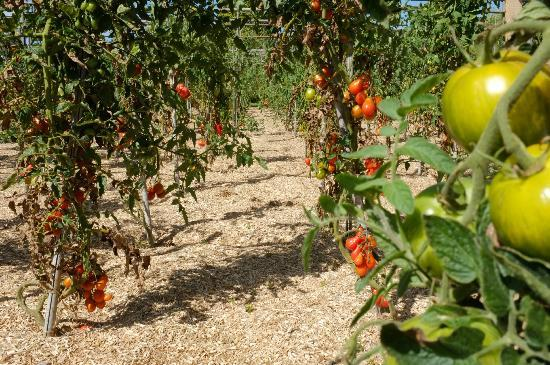 Gardens of the Chateau de la Bourdaisiere: Tomates au potager