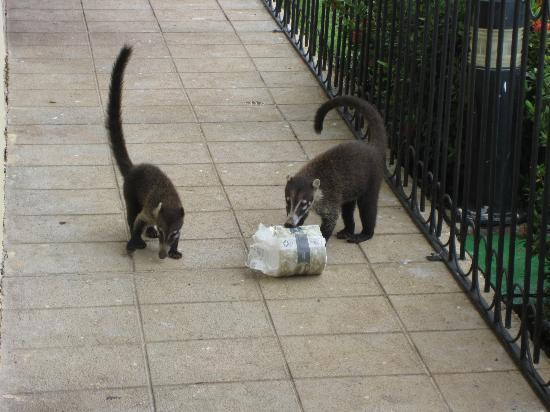 Occidental Grand Papagayo by Barcelo: coati's on our patio steeling toilet paper