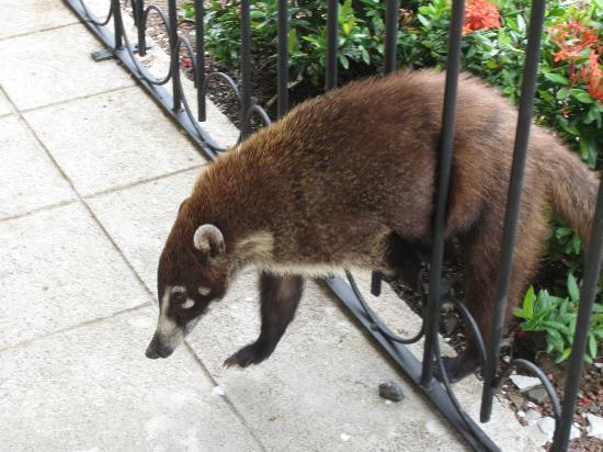 Occidental Grand Papagayo by Barcelo: Coati