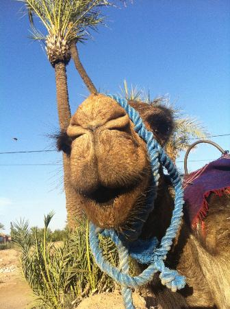 Riad Dar Tiflet: Camels at Palmeraie