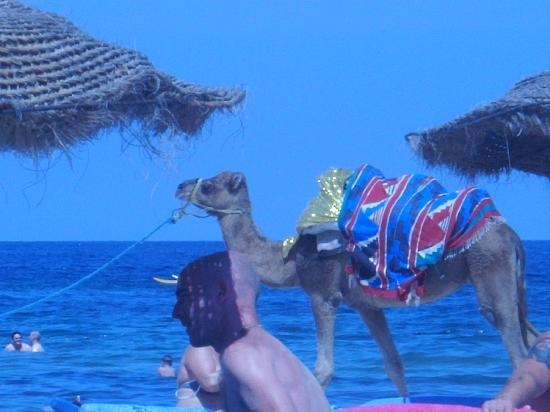 Sahara Beach Aquapark Resort: Camel at the beach