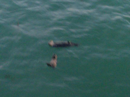 Super 8 Santa Cruz/Beach/Boardwalk West: Otters under the peir