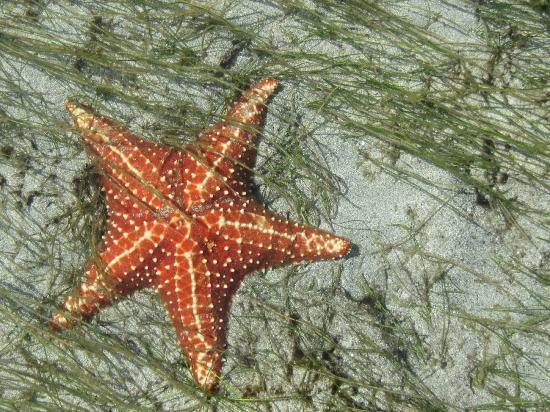 Panama's Paradise Saigoncito: Starfish