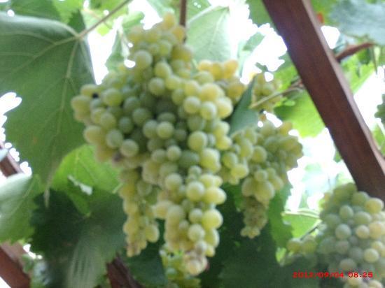 Selcuklu Evi: Fresh grapes right outside the hotel