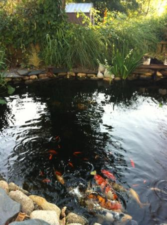The Wellshire Bed and Breakfast: koi pond
