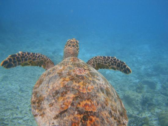 Reethi Beach Resort: One of the turtles