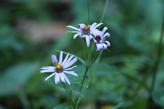 Fenland Trail: Asters
