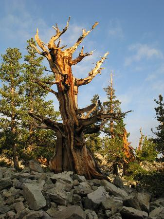 Lehman Caves: Bristlecone Pines. The oldest trees in the U.S.A. AWESOME !