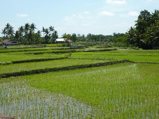 Mandala Desa: Aussicht aufs Reisfeld