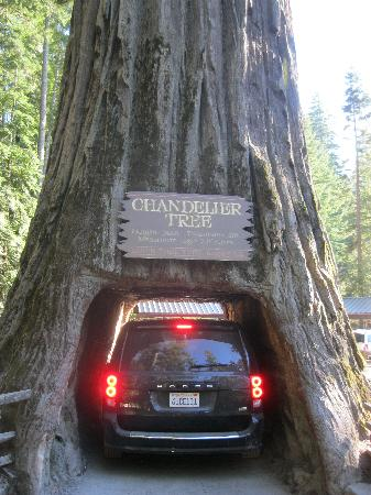 Chandelier Drive-Through Tree 사진