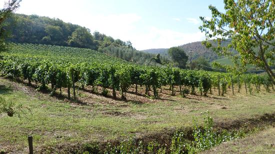 Agriturismo La Crociona: Grape vines surrounding the site