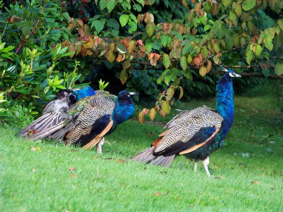 Kilmichael Country House Hotel: Peacocks