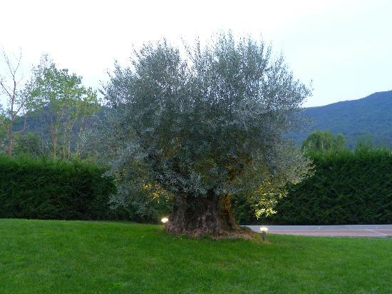 Garlenda, Taliansko: ULIVO SECOLARE