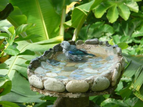 Mango Inn: Bird bath 20 feet from my room