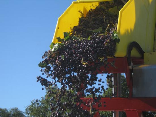 Villa Acquaviva - La Fattoria: Momento della Vendemmia - Harvest's time