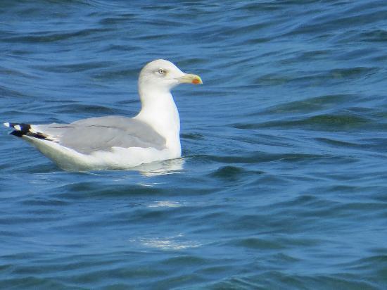 Gabbiano residente in Spiaggia di Capo Bianco