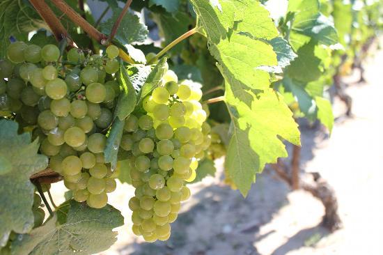 Bowers Harbor Vineyards: Their grapes