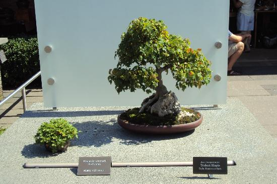 Chicago Botanic Garden Bonsai On Display