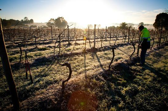 Scion Vineyard & Winery: We cane prune the vineyard by hand during chilly winters