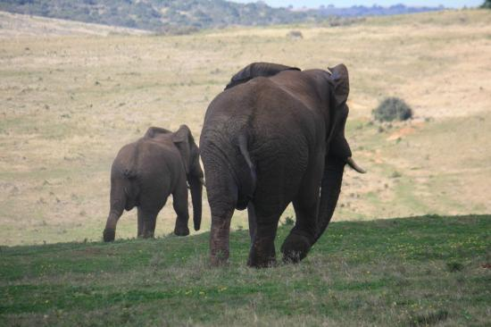 Gorah Elephant Camp: Old male chasing younger bull