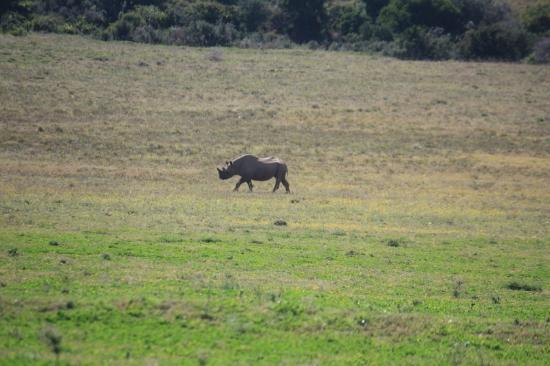 Gorah Elephant Camp: Black Rhino from the porch of the tent