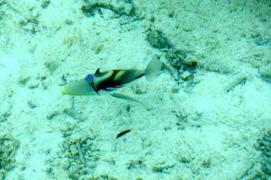 Gili Lankanfushi Maldives: Picasso trigger fish near villa