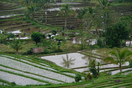 Amanaska Bali: Riziere