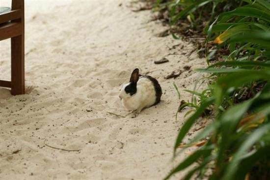 Soneva Fushi : Rabbits are all around the island