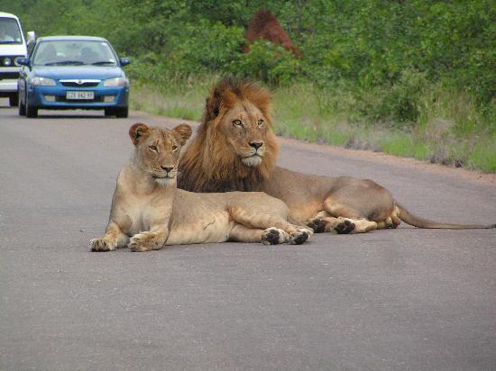 Arimagham Guest House: Lions on Mopanie Road