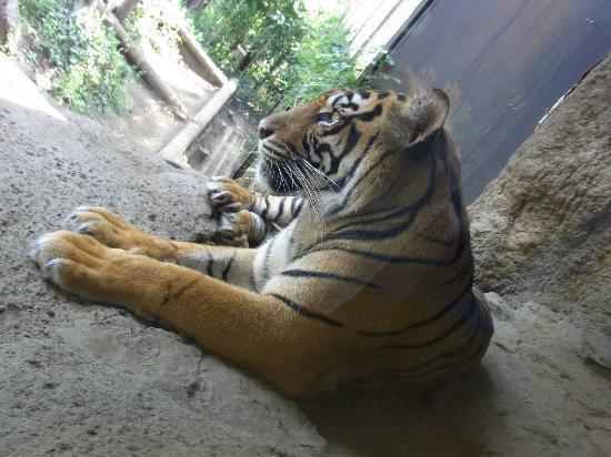 Ueno Zoo: tiger