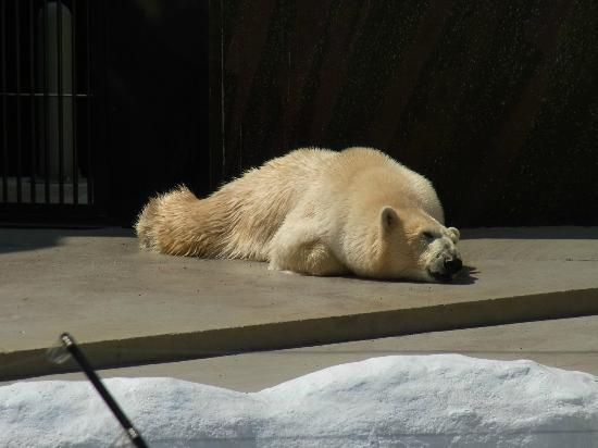 Ueno Zoo: polar bear enjoying sun bathing