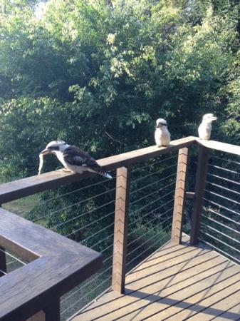 Montville Oceanview Cottages: kookaburras on the deck with their brekkie!