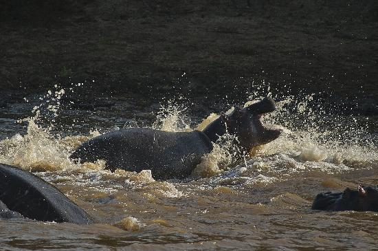 Karen Blixen Camp: Hippo at Play: Hippo Pod at KBC