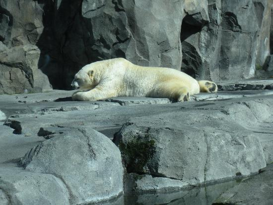 Alaska Zoo : polar bear
