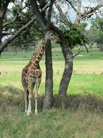 Foothills Safari Camp at Fossil Rim : giraffe
