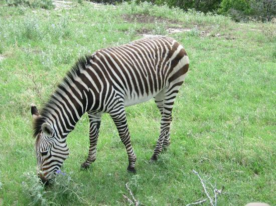 Foothills Safari Camp at Fossil Rim: zebra