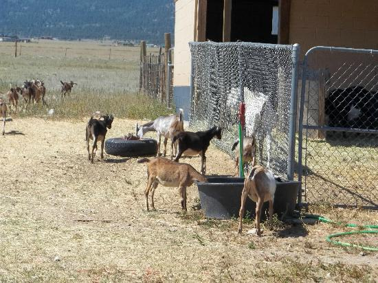 Jumpin' Good Goat Dairy : baby goats on the property