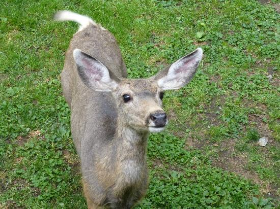 Wallowa Lake Resort: Friendly deer
