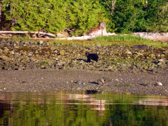 Clayoquot Ventures Tofino Fishing : drifting close toward Black Bear female turning pebbles