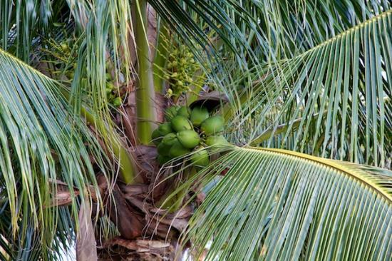 Zoetry Paraiso de la Bonita: Coconuts!