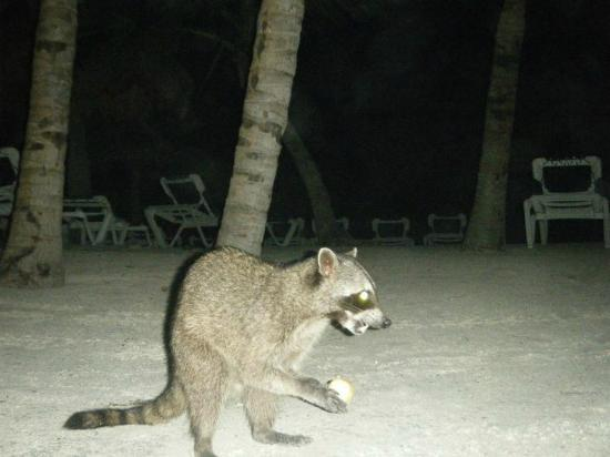 Grand Palladium Kantenah Resort & Spa: friendly racoons :)