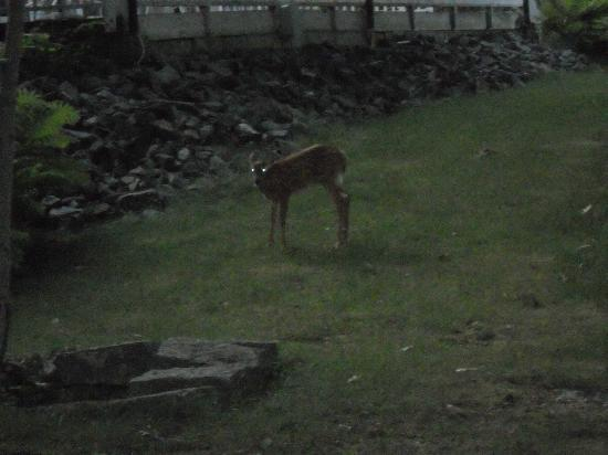 Bar Harbor Motel: Special surprise: deer family at dusk right near our room!