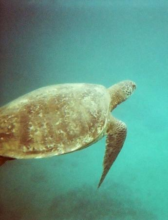 Paia, HI: sea turtle while snorkeling in maui