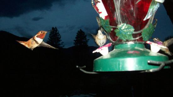 Bobtail Lodge Bed & Breakfast : Humming Birds on the deck