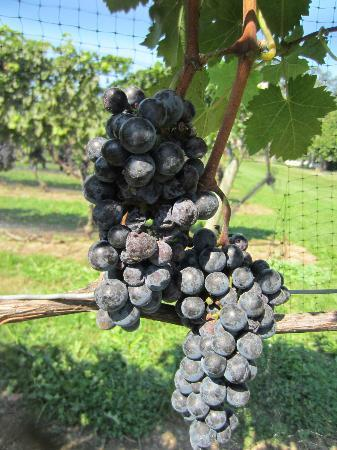 Sannino Vineyard: grapes on the vine