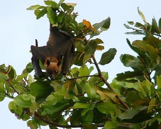 Angaga Island Resort & Spa: bats in trees above room