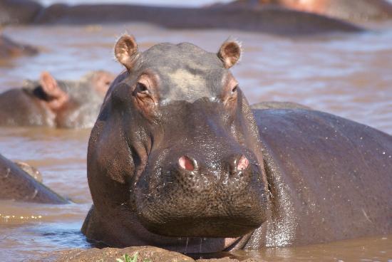 Governors' Il Moran Camp: hippo