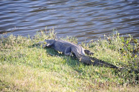 Seasons in the Sun RV Resort: One of several resident alligators