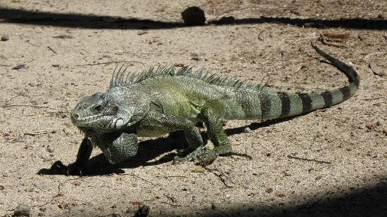 Guadalupe: Iguane aux Saintes