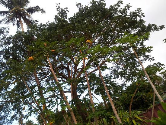Nakia Resort & Dive: My favourite tropical fruit ,, Papaya ,,